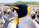 Adventures of the Penguin King - Trailer