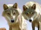 Wolf Totem — International Trailer