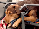 A Dog's Way Home - Official Trailer