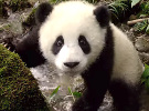 Pandas — Trailer